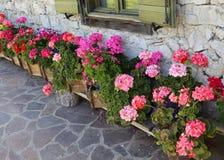 用许多大竺葵装饰的房子的庭院 库存图片
