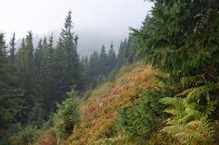 用越桔灌木和杉树报道的倾斜 库存照片