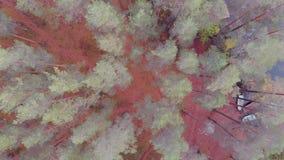 用轻的霜盖的杉木森林,阴沉的秋天风景 股票录像