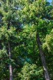 用针叶树盖的庄严喀尔巴阡山脉 免版税库存图片