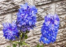 用雨珠盖的三朵富有的蓝色翠雀花 库存照片