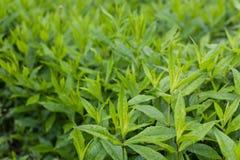 用雨珠盖的鲜绿色叶子在降雨量以后 免版税库存照片