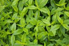 用雨珠盖的鲜绿色的叶子在降雨量以后 图库摄影