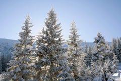 用雪包括的杉木 库存照片