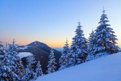 用雪厚实的层数盖的好的弯曲的公平的树由桃红色黄色日落启迪在冬日 33c 1月横向俄国温度ural冬天 免版税库存照片