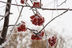 用雪和冰特写镜头盖的冻花楸浆果树 免版税库存图片