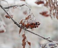 用雪和冰特写镜头盖的冻花楸浆果树 库存图片