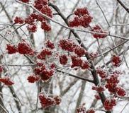 用雪和冰特写镜头盖的冻花楸浆果树 免版税库存照片