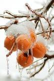 用雪和冰盖的小组柿子在12月 免版税图库摄影