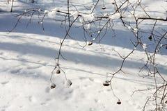 用雪和霜报道的落叶树分支 免版税库存照片