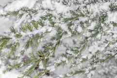 用雪寒冷冬天报道的绿色自然杉树分支 库存照片