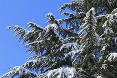 用雪报道的云杉的分支在冬天 免版税图库摄影