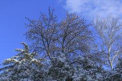 用雪报道的云杉的分支在冬天 库存图片