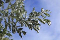 用雪报道的云杉的分支在冬天 免版税库存照片
