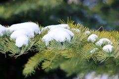 用雪报道的云杉的分支照亮由太阳 免版税库存照片