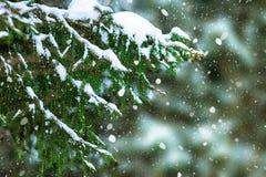 用雪报道的云杉的分支 库存照片