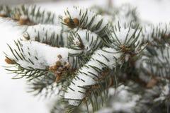 用雪报道的云杉的分支 免版税图库摄影
