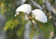 用雪报道的具球果分支 库存照片