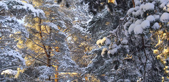 用雪报道的杉木分行 免版税库存图片