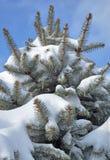 用雪报道的杉树分支 免版税库存图片