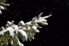 用雪报道的杉树分行在晚上 图库摄影