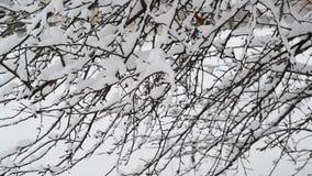 用雪报道的灌木分支 股票录像