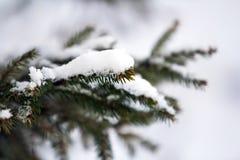 用雪报道的绿色杉树分支特写镜头在冬天 库存图片