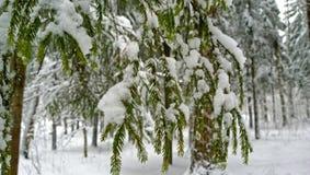 用雪报道的鲜绿色的冷杉分支 库存图片