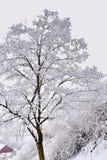用雪树盖 库存照片