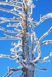 用雪涂的树 库存照片