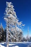 用雪涂的结构树 库存图片