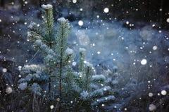 用雪盖的一棵小杉木圣诞树在冬天在森林里 库存照片