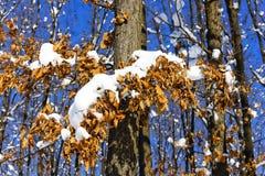 用雪盖的五颜六色的秋天树叶子 免版税库存照片