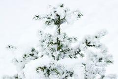 用雪盖的冷杉在降雪以后户外在白色多雪的背景的,拷贝空间森林里 免版税库存照片