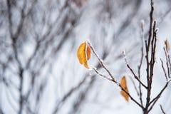用雪盖的叶子 库存图片
