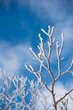 用雪盖的叶子 免版税库存图片