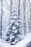 用雪盖的唯一杉树在森林里 库存图片