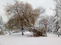 用雪盖的垂柳树 库存照片