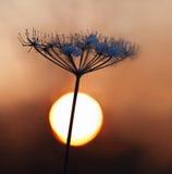 用雪盖的干莳萝在冬天日落期间 图库摄影