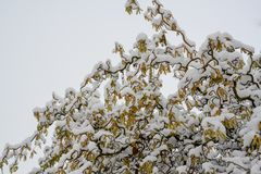 用雪盖的开花的corcscrew杨柳,柳属matsudana var tortuosa 库存图片