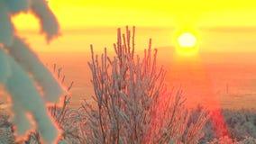 用雪盖的摇摆在背景桃红色天空和发光的太阳的树和霜分支  股票录像