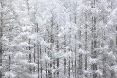 用雪盖的日本落叶松属 免版税库存图片