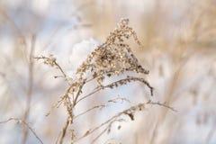 用雪盖的明亮被点燃的加拿大菊科植物 库存照片