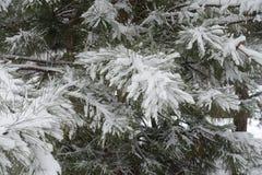 用雪盖的杉木Leafage 免版税库存照片