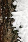 用雪盖的杉树的吠声 图库摄影