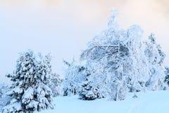 用雪盖的松树在冷淡的冬日 库存图片