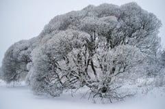 用雪盖的柳属脆弱类的(脆柳)树 免版税库存照片
