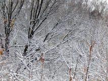 用雪盖的树分支在暴风雪以后 免版税库存图片