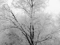 用雪盖的树分支在暴风雪以后 图库摄影