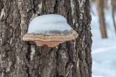 用雪盖的树真菌 关闭 免版税库存图片